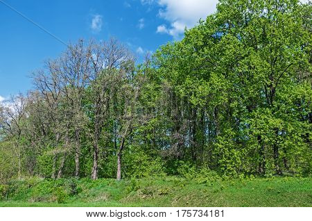 Deciduous trees growing on the hillside on a background of blue sky and clouds