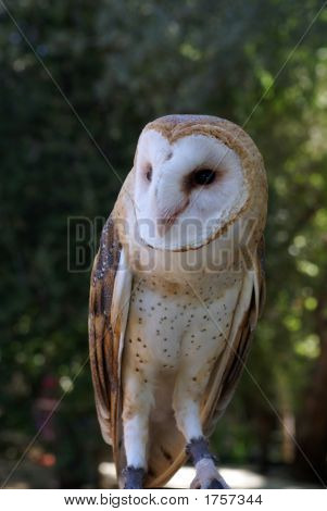 A common barn owl sits on the hands of its trainer poster