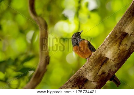 White-rumped Shama sitting on the branch from Thailand