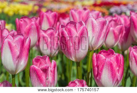 Group Of Pink And White Tulips In Noordoostpolder