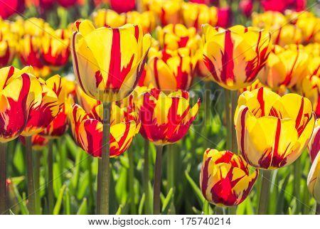 Group Of Red And Yellow Tulips In Noordoostpolder