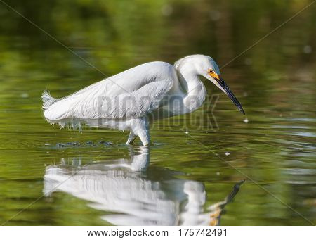 Snowy Egret wading in a shallow pond hunting for food.