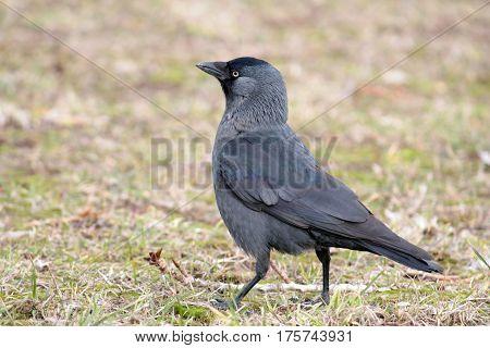 Western jackdaw (Corvus monedula). Black bird on the grass