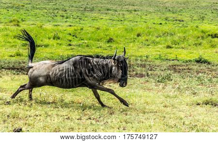 Close up of Wildebeest Running in the African Savannah
