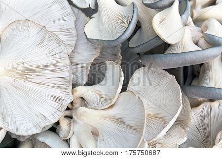 Fresh raw oyster mushrooms  as a  background