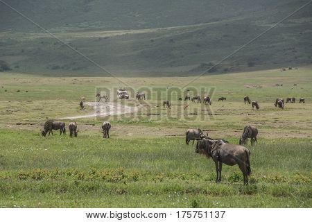 Wildebeest herd in the Ngorogoro Crater Africa