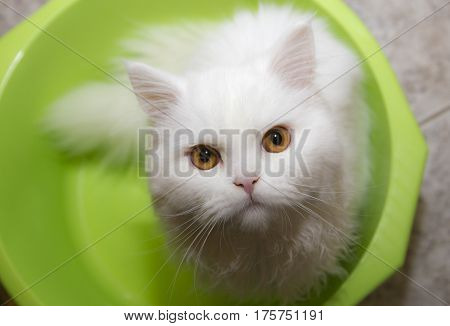 white cat in a bowl; Angora green eyes cat fluffy soft Purity;cat white breed soft fun mammal paw curious sitting kitty cut-out pedigreed beast pedigree fur creature studio feline cutout deft portrait cute funny alertness young short adorable childhood ha