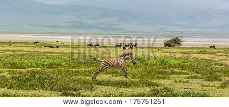 Jumping baby zebra in the African Savannah