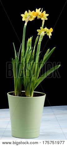 Bunch of Wild Yellow Daffodils with Buds in Green Flower Pot closeup Black and Blue Wooden background