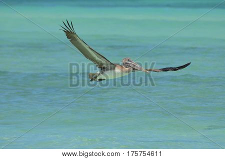 Amazing wing span on a pelican in flight over Aruba's waters.
