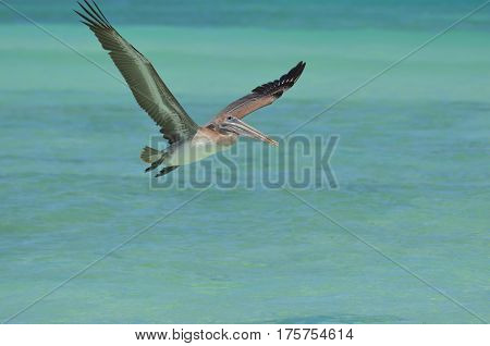 Beautiful pelican in flight in Aruba over the water.