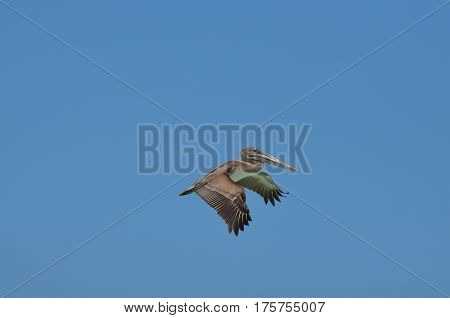 Pelican wings flapping in flight against a clear blue sky.