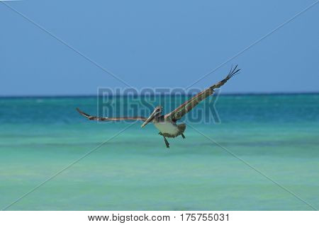 Pelican with his wings extended in flight over the water.