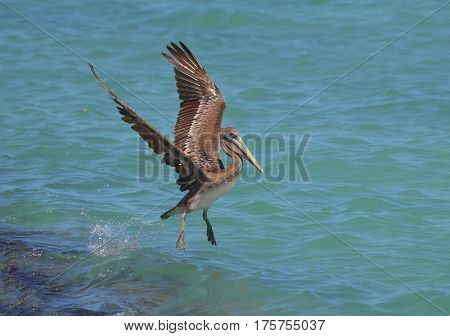 Gorgeous pelican with his wings extended as he lands in tropical waters.