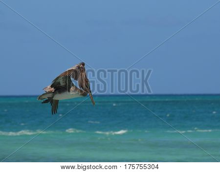 Grey pelican flapping his wing sin flight off the island of Aruba.
