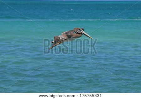 Gorgeous pelican with his wings extended in flight off the island of Aruba.