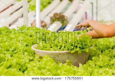 Organic hydroponic vegetables Vertical garden thailand .