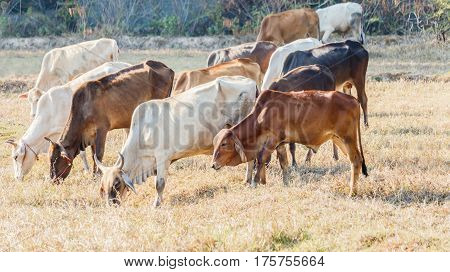 Cows grazing on pasture in thailand .