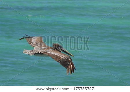 Pelican with his wings extended in flight over the tropical waters of Aruba.