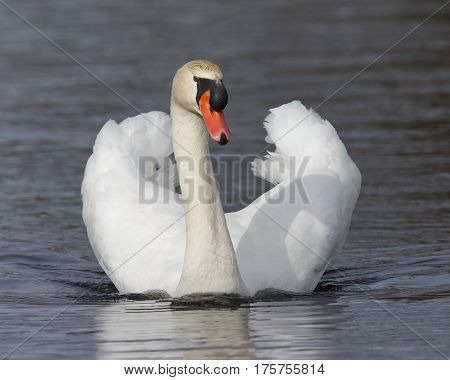 Mute Swan Swimming With Wings Extended