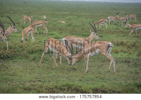 Male Thomson's Gazelle fighting in the African Serengeti