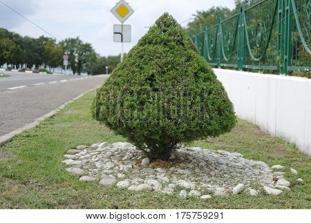 Small pyramidal yew grows in a well-groomed lawn near the road