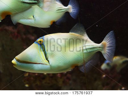 The lagoon triggerfish called also blackbar triggerfish the Picasso triggerfish the Picassofish and the Jamaln in the waters of the red sea