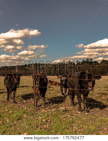 Angus crossbred calves standing behind a barbed wire fence in vertical format