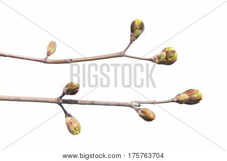 Maple branch with buds isolated on white background. Branch of Norway maple