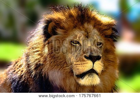African lion (Panthera leo) head and mane with blurred background