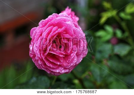 Pink rose flower on a background of foliage