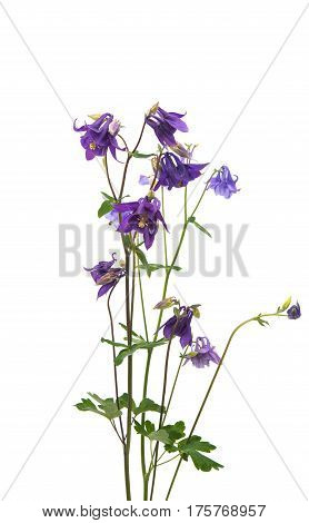 aquilegia flower bouquet isolated on white background