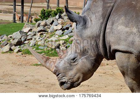 gray, horned, African rhinoceros watching giraffe below
