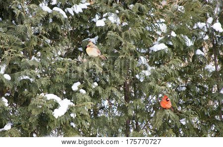 Beautiful red bird northern cardinal pair of North American bird genus Cardinalis scientific name Cardinalis cardinalis female and male perched in evergreen trees background with room for copy