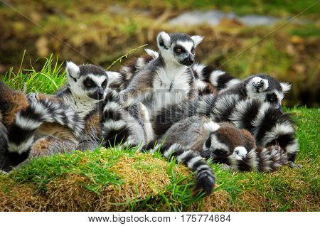 Lemurs In The Grass, Ring-tailed Lemur (lemur Catta)