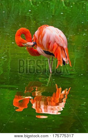 Flamingos In Nature. (phoenicopterus Ruber), Also Known As The American Flamingo
