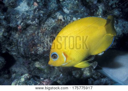 A Lemonpeel Angelfish, Centropyge flavissima swims on a coral reef at the Kwajalein Atoll in the Pacific