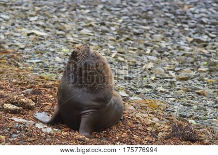 Male Southern Sea Lion (Otaria flavescens) on the coast of Bleaker Island in the Falkland Islands.