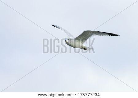 Ring-billed Gull in flight wings high scanning surroundings