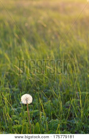 Fluffy white dandelion among the grass on a sunlit meadow