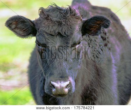 Close up of a black crossbred beef cow heifer