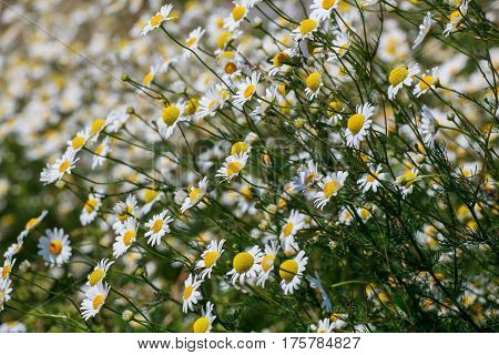 Wild chamomile flowers on a field on a sunny day. shallow depth of field, View from above