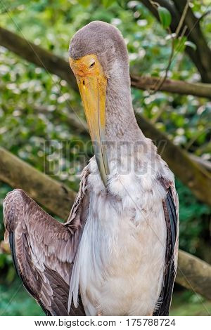 Yellow-billed stork or Mycteria ibis cleans the feathers in the Kuala Lumpur Bird park, Malaysia.