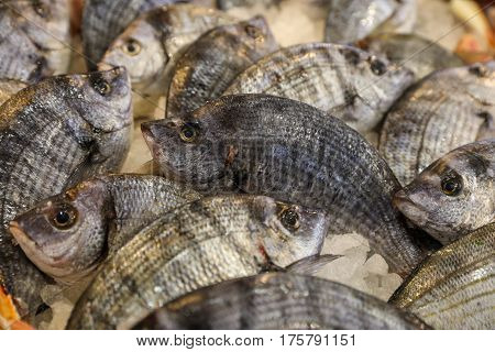 Striped bream fishes or Diploduc sargyc on ice for salle in the greek fish market. Horizontal. Close up.
