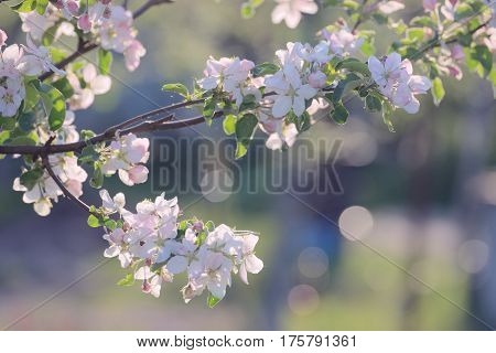 Branch apple tree with pink flowers backlit