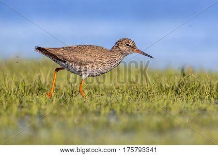 Common Redshank Running Throughr Grass