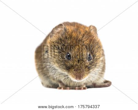 Frontal Close Up Of Angry Bank Vole