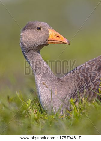 Greylag Goose Lying In Grass With Apologizing Face
