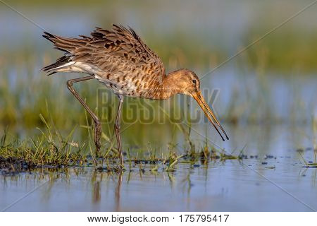 Moving Black Tailed Godwit In Wetland