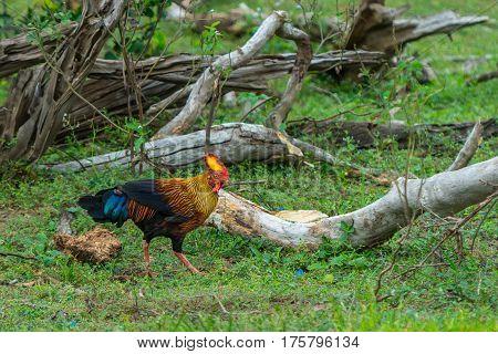 Rooster Of Sri Lankan Junglefowl Or Gallus Lafayetii In Wild Nature